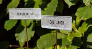 Jak pěstovat aromatické rostliny?