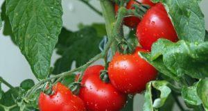 Vlastní rajčata – jak je snadně vypěstovat?