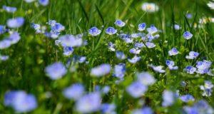 Pěstujeme na zahradě – Rozrazil rezekvítek