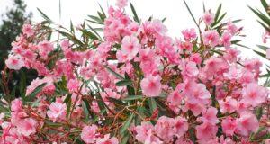 Pěstujeme na zahradě – Oleandr